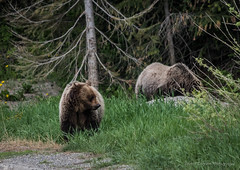 A Grizzly Experience
