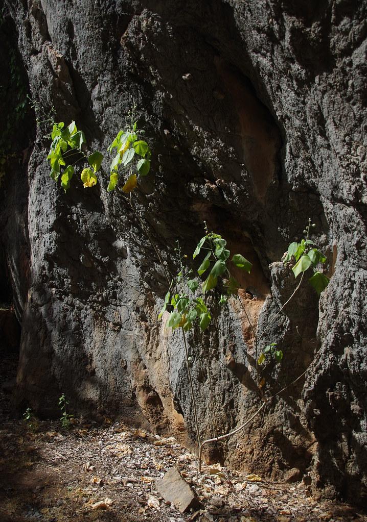 Abutilon auritum, Mungana rock art site, near Chillagoe, QLD