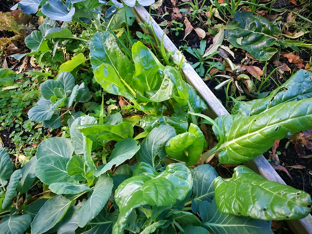 chard planting in Bigger vege bed by shiny
