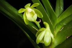 [Yunnan, China] Vanda alpina fma. alba (Lindl.) Lindl., Fol. Orchid. 4: 10 (1853)