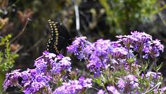 Black Swallowtail on Prairie Verbena