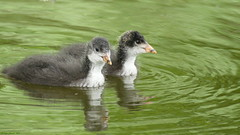 Poussins gallinule