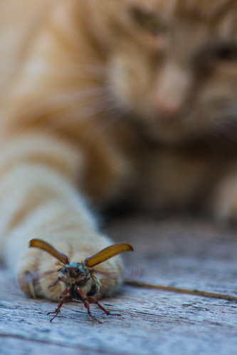 Cat vs Cockchafer