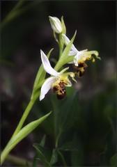 La saison des ophrys
