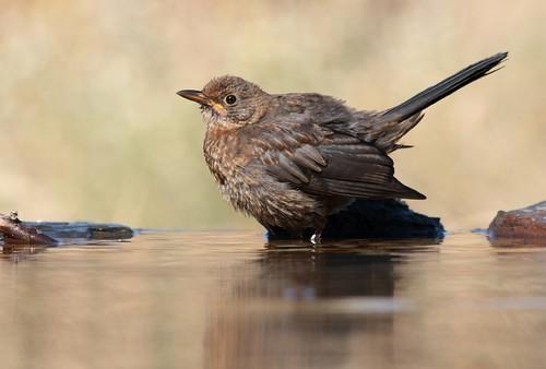 Melro preto // Turdus merula // Blackbird
