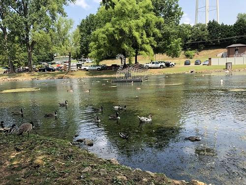 Canadian Geese, Muscovy Ducks, Mallard Ducks & Swans Spring Park
