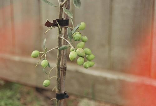 69/365 Olive