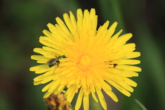 Dandelion (Taraxacum officinale) with Green Sweat Bee (Agapostemon spp.)