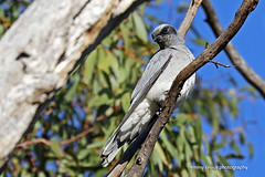 Black-faced Cuckoo Shrike_immature_Dimboola (0635)