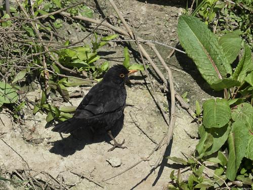 B: Common Blackbird (Turdus merula)