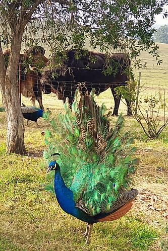 The love and peace on the hurry Krishna Farm