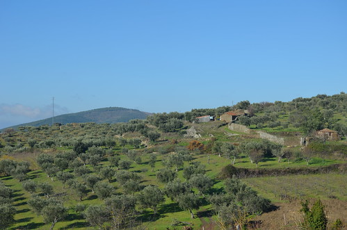 Olive fields