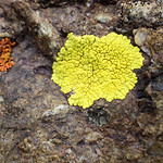 Lichens: VIS, UVA and NIR