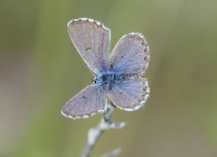 Baton Blue (Pseudophilotes baton) - Photo of Baneuil