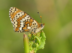 Glanville Fritillary (Melitaea cinxia) - Photo of Cause-de-Clérans
