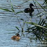 Aves en las lagunas de La Guardia (Toledo) 2-6-2019