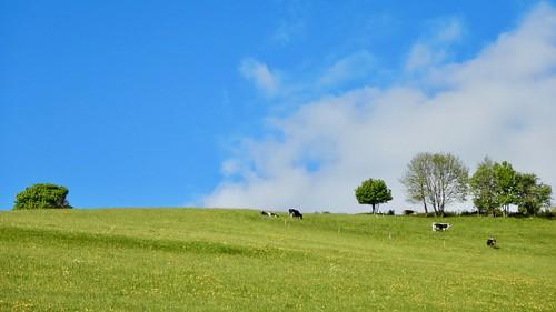 Koetjes op de heuvel