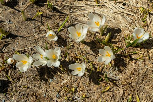 Bernina Pass: A sample of the white crocus (1/4)