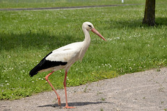Cigogne Blanche - Photo of Illhaeusern