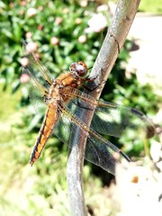 Dragonfly / libellule - Photo of Saint-Remy-en-l'Eau