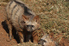 Aardwolf, Proteles cristata, at Lion and Rhino Reserve, Gauteng, South Africa