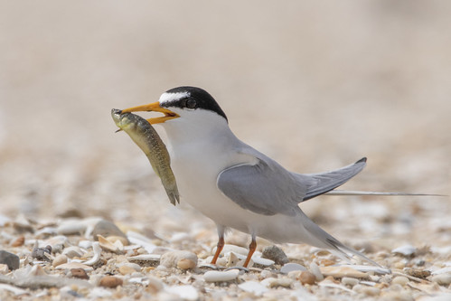 Least Tern Happy with His Catch