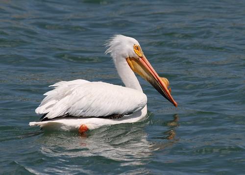 Pelican in looking handsome