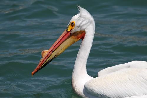 American White Pelican Profile