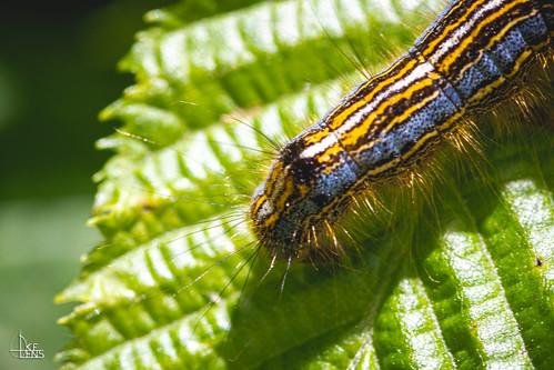 Carl the Caterpillar