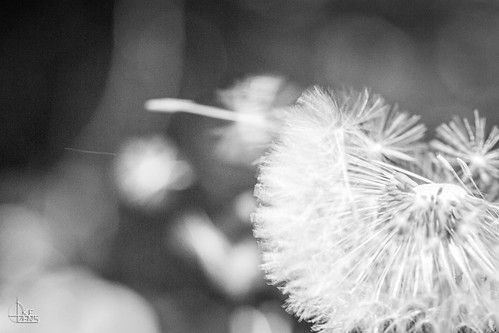 Dandelion Blow