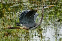 Great Blue Heron in flight. (Viking ship).