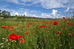 Les coquelicots - Photo of Mertzwiller