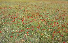 Esplendor primaveral en el campo