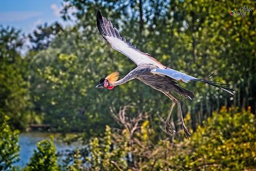 Flight of the Grey Crowned-crane