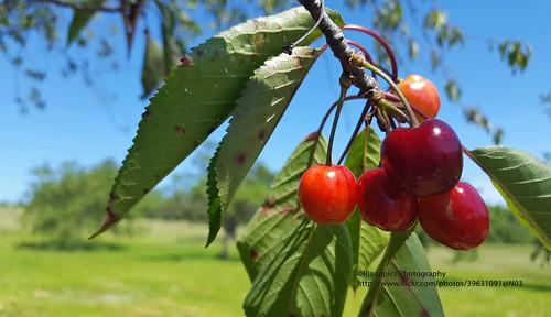 Hohengehren, Brühl, sweet cherries