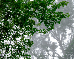 Cottonwood Trees in Fog