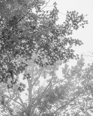 Cottonwood Trees in Fog- High Key B&W