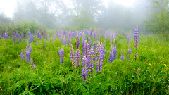 Lupine in the Fog
