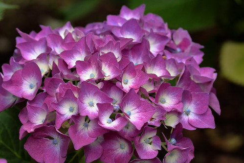 This blooming hydrangea looks so pretty.
