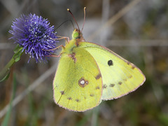 Berger's Clouded Yellow (Colias alfacariensis) - Photo of Cause-de-Clérans