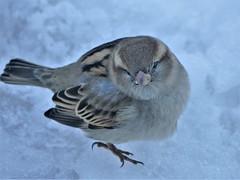 Sparrows, Blackbirds, Thrush etc