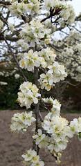 Prunier commun (Prunus domestica) - Photo of Épiais-Rhus