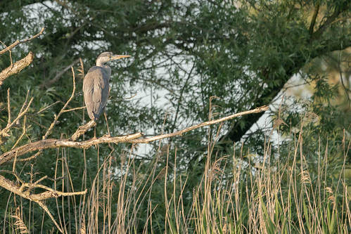 DSC04950 Blauwe Reiger, Grey Heron, Ardea cinerea.