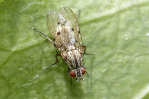 Craspedochaeta punctipennis