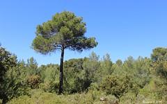 Le Pin de Provence et la Garrigue - Photo of Châteauneuf-le-Rouge