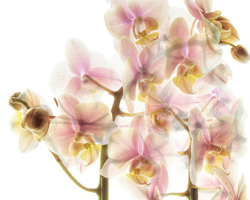 Orchid fusion X-ray photo