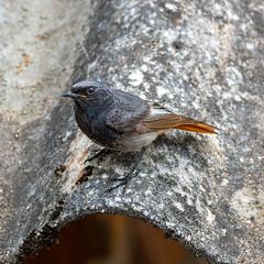 Black Redstart - Photo of Courry