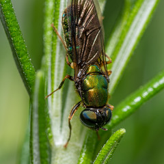 Green and gold insect