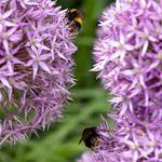 Bee   RHS Wisley   June 2019-6