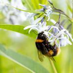 Bee   RHS Wisley   June 2019-10
